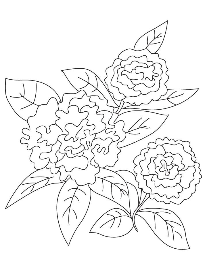 dianthus caryophyllus coloring pages - photo#2