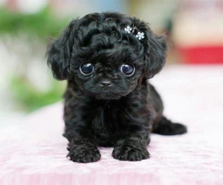 AwwwwPuppies, Small Dogs, Black Dogs, Beautiful, Adorable, Angels, Teacups, Eye, Animal