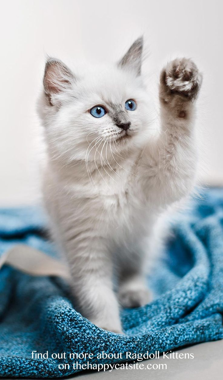 Beautiful ragdoll kitten. You can find a complete guide to the lovely ragdoll cat breed on thehappycatsite.com