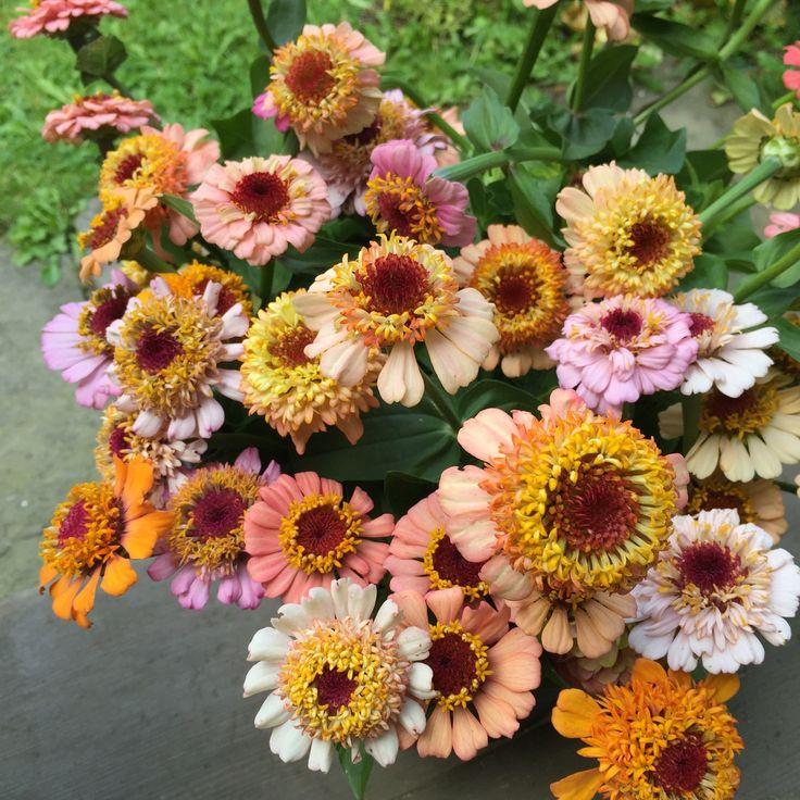 These Scabiosa flowered Zinnias were wonderful.