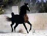 egyptian arabian horses in texas - Yahoo Image Search Results