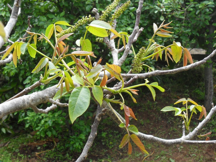 walnut flowers