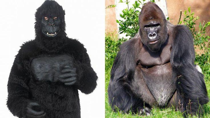 Un Empleado Se Disfraza De Gorila Y Le Disparan Con Dardo