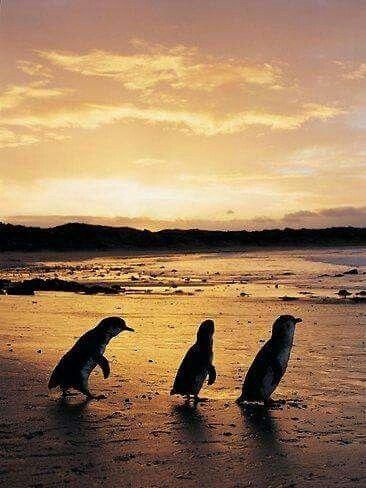 Fairy Penguins, Kangaroo Island, South Australia