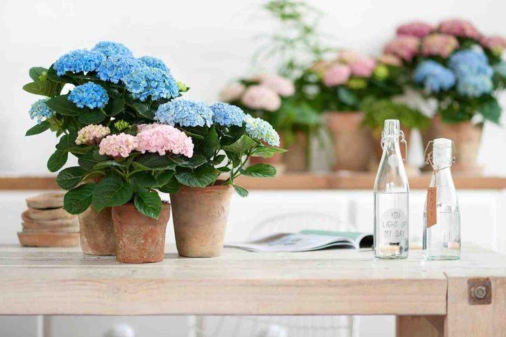 BOSKOOP - Een bijzondere uitdaging voor iedereen met of zonder groene vingers: 150 dagen genieten van een bloeiende kamerhortensia. Moeilijk? Helemaal niet! De Magical-hortensia is zo sterk dat het eigenlijk niet mis kan gaan. Geef de kamerplant een plekje in huis en voorzie 'm af en toe van een slok water. 150 dagen flowerpower in