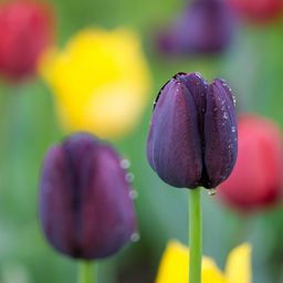 "Tulips Flower, Dark-violet tulip flower covered with dew drops. From ""Flowers"" Photo Art Prints Collection. #Giclee #flowersphoto #tulipsphoto #colorfull"