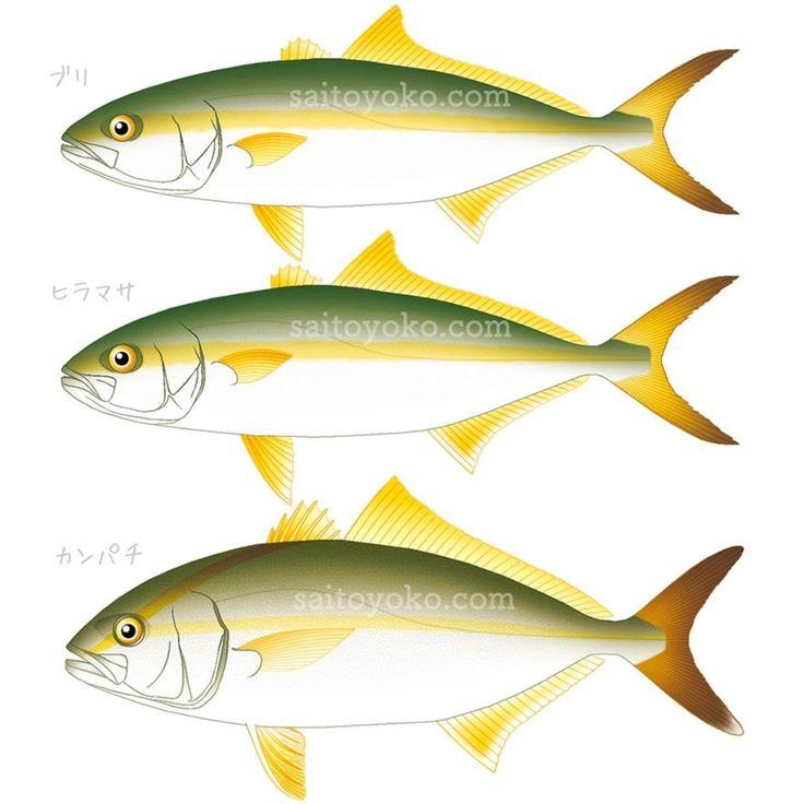 ブリ ヒラマサ カンパチイラスト ヒラマサ 魚図鑑 さかな