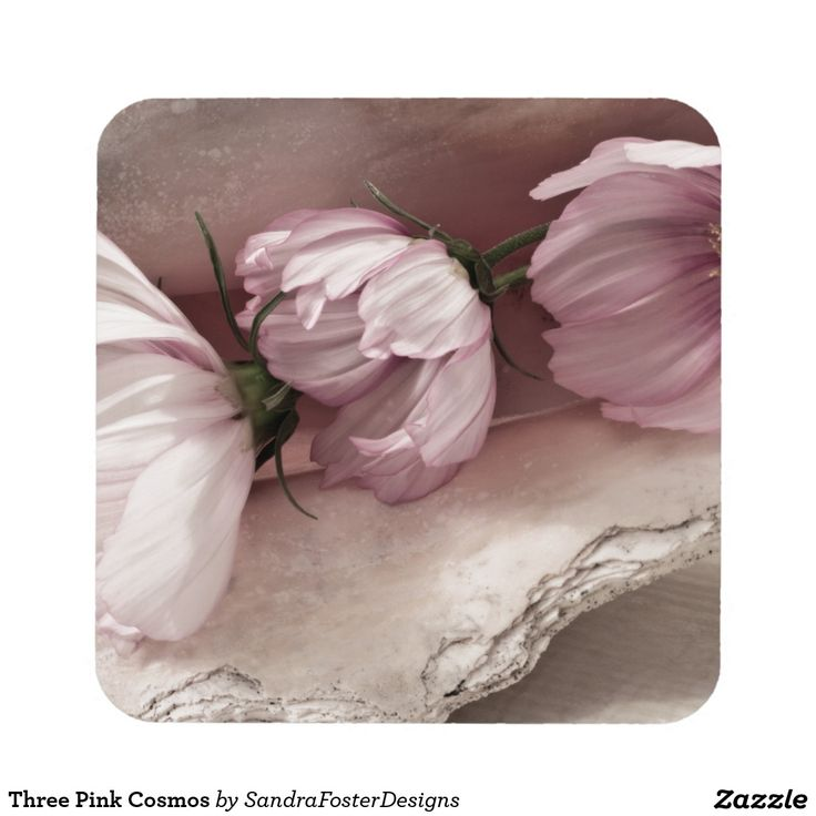Three Pink Cosmos Drink Coaster