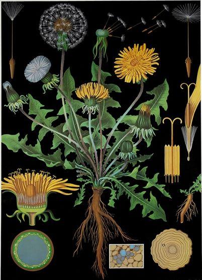 Paardenbloem (Taraxacum officinale). Botanical Chart by Jung, Koch  Quentell, 1891…  Het bloemhoofdje wordt door velen aangezien voor een bloem, maar is feitelijk een hele verzameling kleine bloemetjes. Het bloemhoofdje van een paardenbloem bestaat uit alleen gele lintbloemen. De pappus (gereduceerde kelk) bestaat uit haren.
