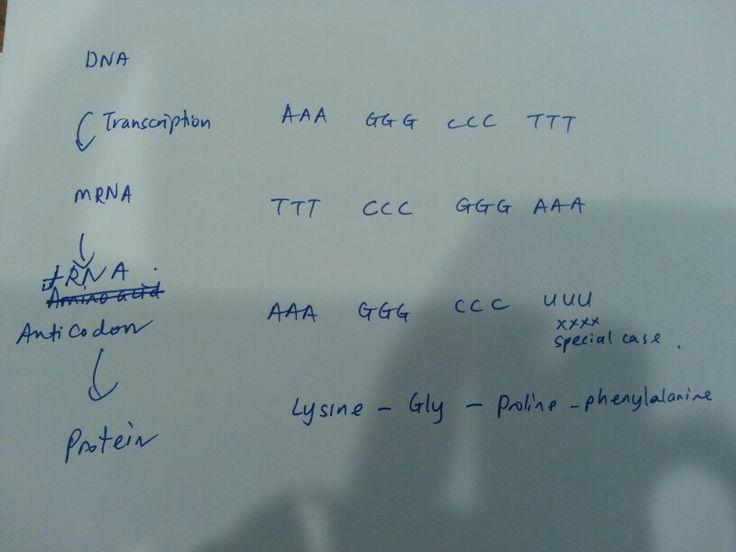 DNA Transcription-mRNA Translation-Protein synthesis