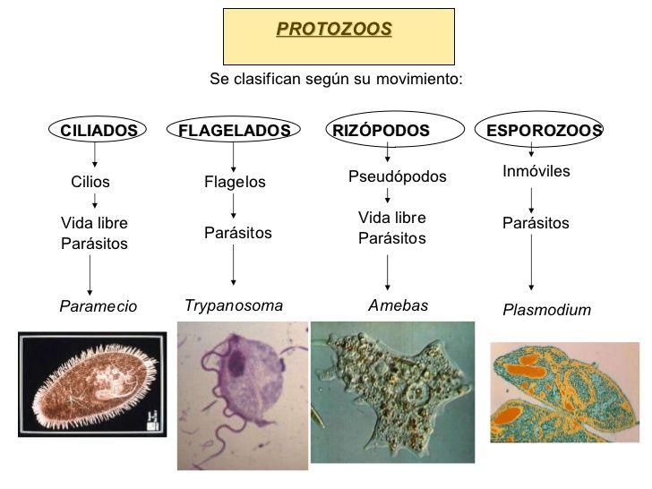 Resultado De Imagen Para Clasificacion De Los Protozoarios Microbiology Study Education