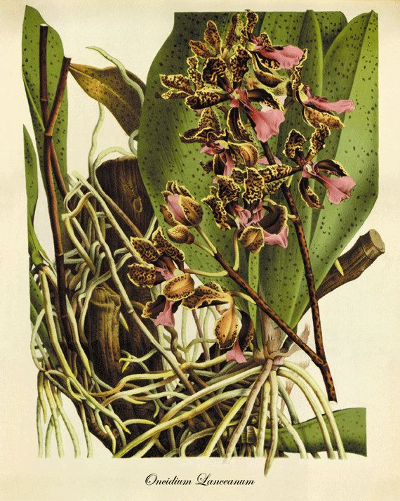 Orchid art print Botanical Art Prints Victorian by AntiqueWallArt