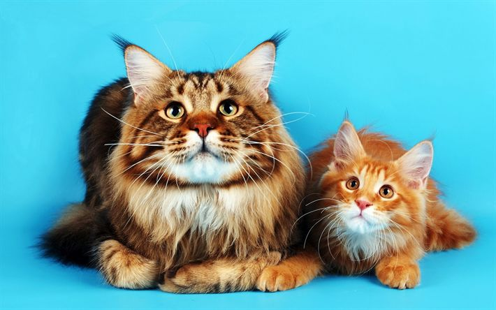 Download wallpapers Maine Coon, ginger cats, cute animals, furry cats