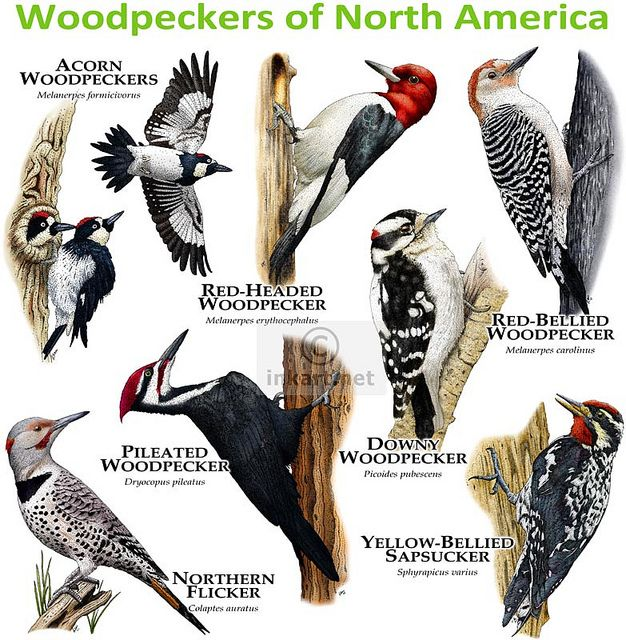 ... Woodpeckers With Pictures Downloadable Plans | Fine Woodworking Plans