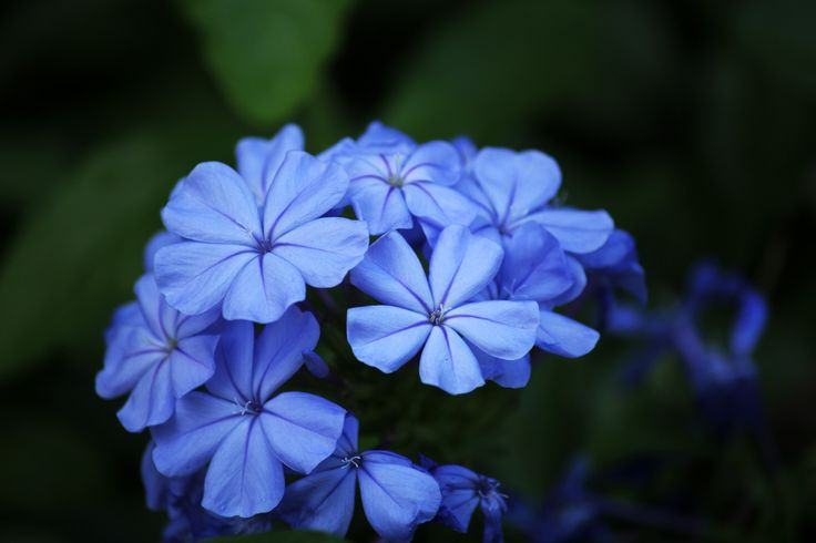 Blue Flowers Free Stock Photo HD - Public Domain Pictures