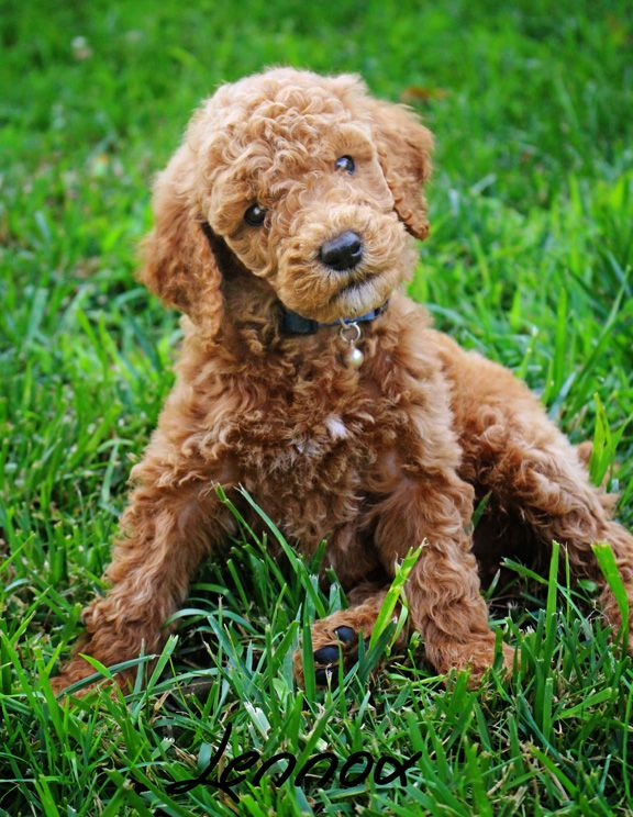 AKC red Apricot Standard Poodle. Fluffy Puppy. Dog ...