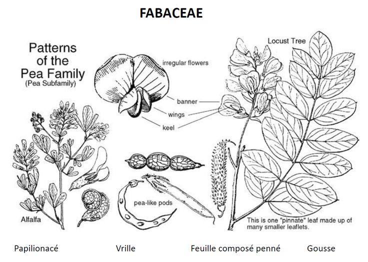 La famille des Fabacées est une famille de plantes dicotylédones. La famille est aussi appelée couramment Légumineuses ou Papilionacées, mais ce ne sont pas de vrais synonymes. Chaque nom s'applique à une condition particulière  Rang : Famille Classification : Fabales Sous-ordres : Gymnocladus, Peltophorum, Pongamia, Ebenopsis, plus...
