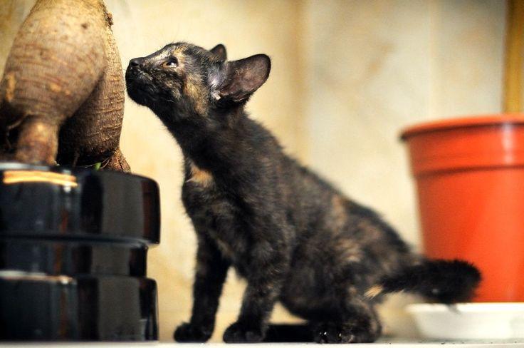 """Котёнок Фри (3). Котёнок, примерно 3 месяца. Тема на форуме Благотворительного Фонда """"Сохрани Жизнь"""" - http://save-life.me/forum/viewtopic.php?f=22&t=4517 . Нашла Дом!"""