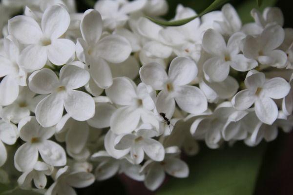 Flieder, Edelflieder Mme Florent Stepman: Syringa vulgaris Mme Florent Stepman: Reinweisser belgischer Flieder, wunderschöne kleine Blüten
