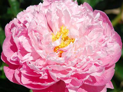 Klehm's Song Sparrow Farm and Nursery--PEONY--'Pink Pleasure'