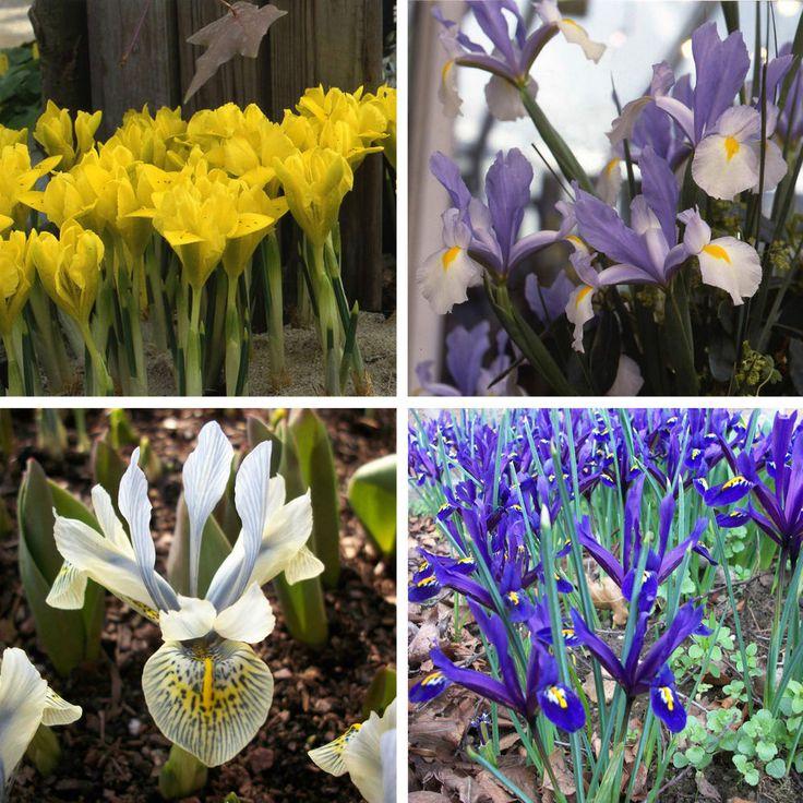 Iris bulbs Perennial Spring Flowering Garden