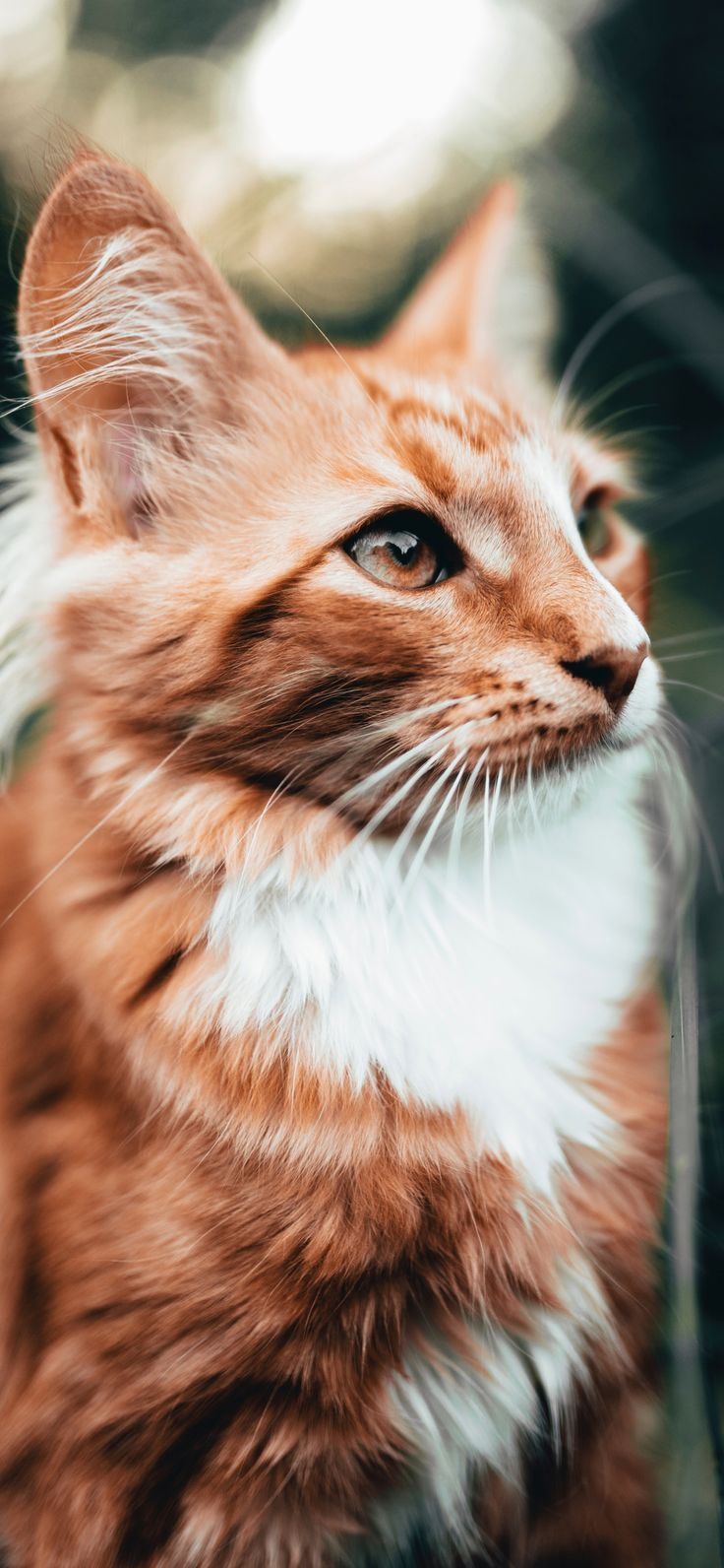Beautiful Orange Cat Wallpapers For Iphone Xr Iphone Xs