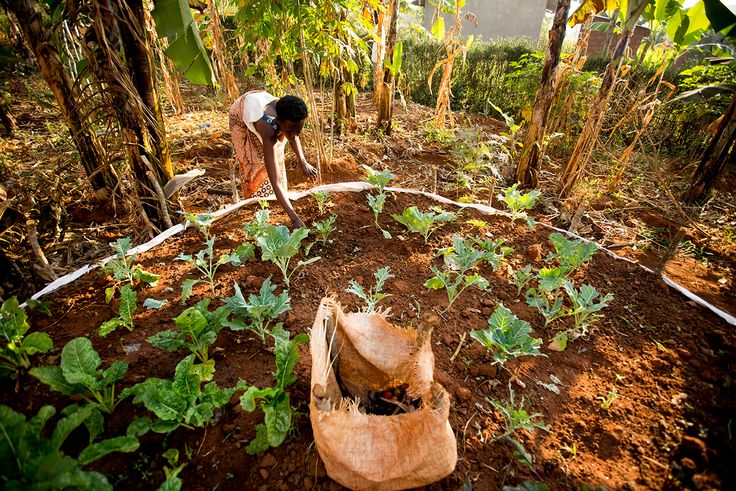 Scovia tending to her keyhole garden in Rwanda (Photo credit: Esther Havens)