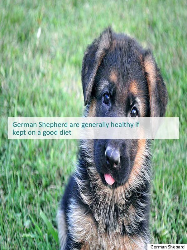 Best German Shepherd Kennels Austin German Shepherd Rescue