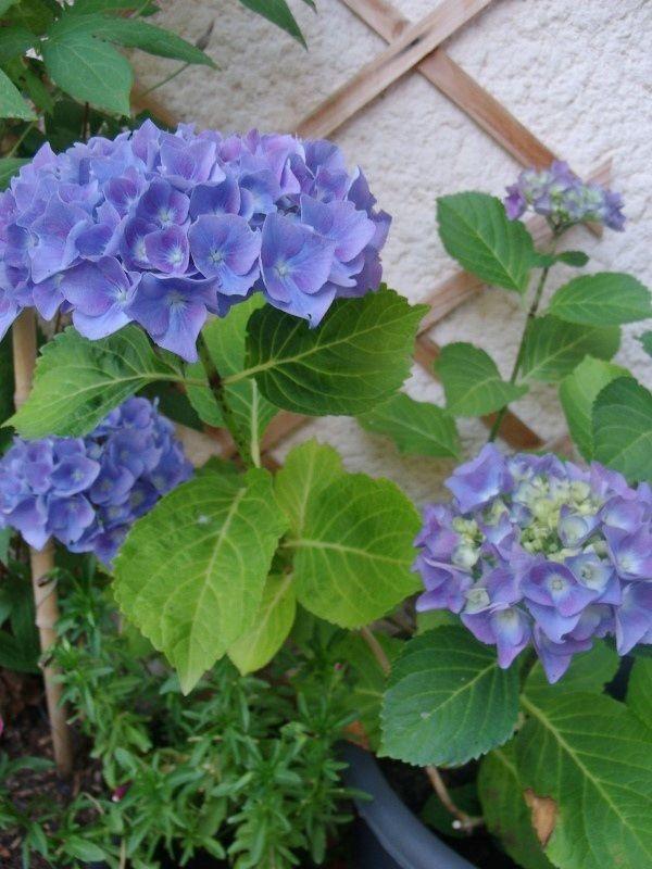 1000 id es sur le th me hortensia bleu sur pinterest hortensia rose hortensias blancs et. Black Bedroom Furniture Sets. Home Design Ideas