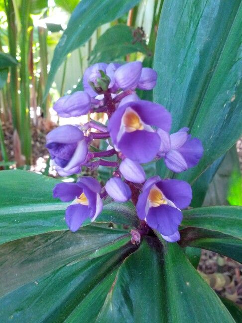 Purple flowers as seen in a Brisbane Botanical Gardens