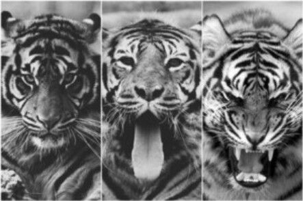 Immagine di tiger, animal, and black and white