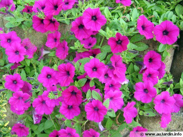 Surfinia, Pétunia retombant, Petunia x 'Surfinia'
