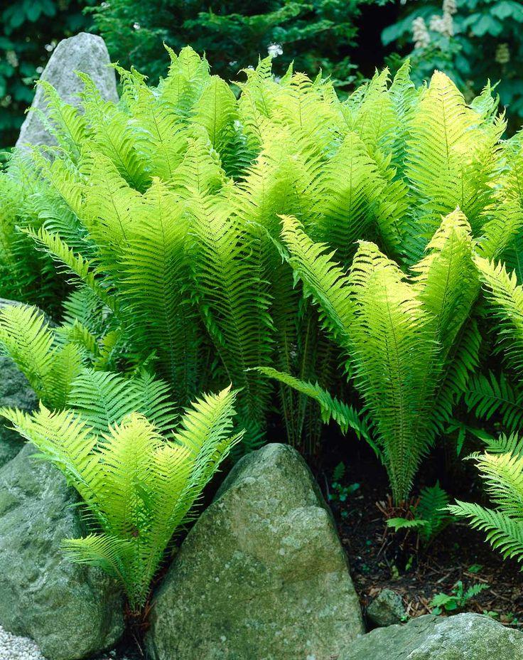 Ostrich Ferns - Longfield Gardens
