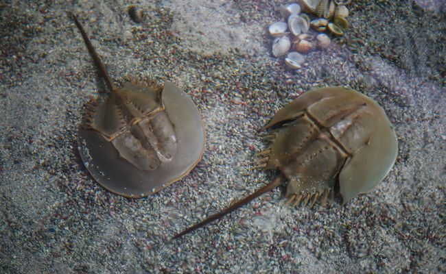 Horseshoe Crabs Save Our Lives, So Let's Save Theirs Back   Care2 Causes