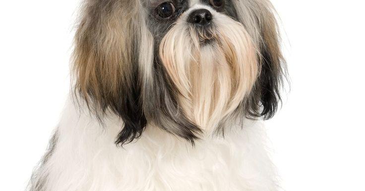 """Características del Shih-Tzu Maltés. El Shih Tzu Maltés es un perro """"de diseño"""" o """"híbrido"""" que es un cruce entre los maltés y Shih Tzu. A menudo referido como un Tzu Malti, Shi Mal, Maltés Bichón o Shih Tzu Maltés, estos pequeños perros son populares por su tamaño compacto y características de bajo cobertizo y rasgos de personalidad. Son, en esencia, perros callejeros y deberían ser ..."""