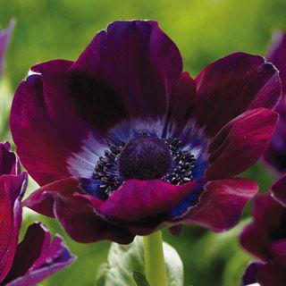 """Anemone Coronaria 'Burgundy' - 25/$9.50 -- May-June - 10-14"""" tall"""
