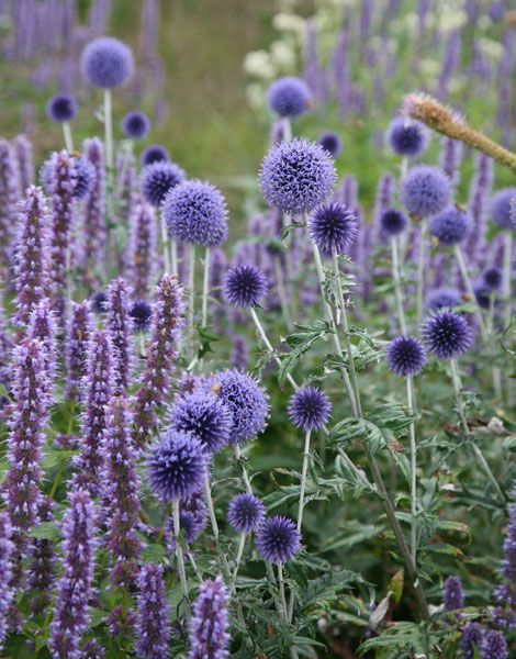Echinops ritro 'Veitch's Blue' - A wonderfully spiky tall summer flowering perennial, with blue spherical blooms, resembling a mace in form. Best grown on loose soil in full sun, and a wonderful cut flower.      Height: 140cm     Drought resistance: medium     Flowering time: spring     Frost tolerance: extremely good     Light requirement: full sun