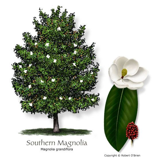 Magnolia, Southern  Common Name: Southern Magnolia  Magnolia grandiflora  Tree Size: Large  Leaf Type: Evergreen  Comments:  Plant in well drained soil and let limbs grow to the ground. Some cultivars tolerate alkalinity.