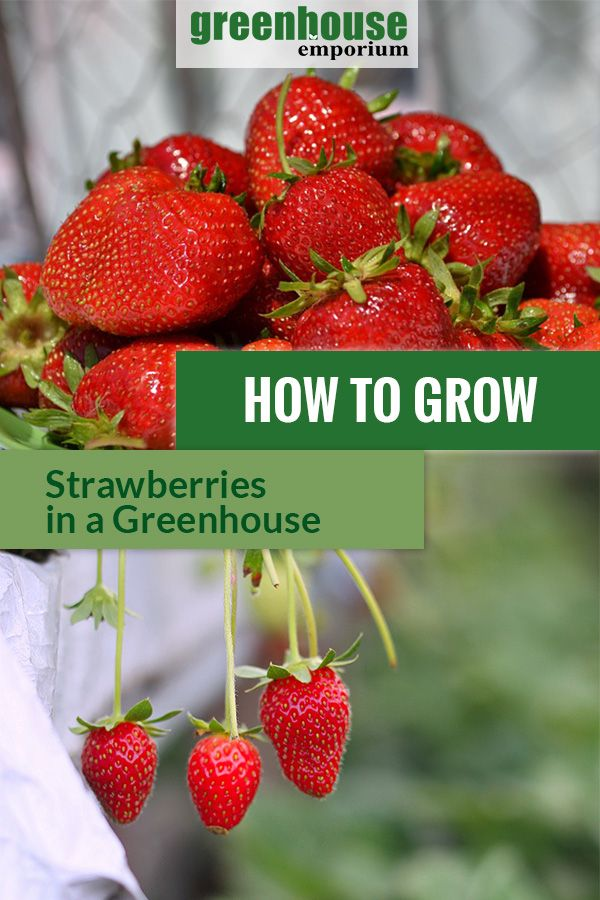 How To Grow Strawberries In A Greenhouse Greenhouse Emporium Growing Strawberries Greenhouse Gardening Strawberry Plants