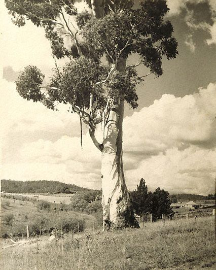 Australian Gum, (1935) by Harold Cazneaux (New Zealand, Australia 30 Mar 1878 – 19 Jun 1953)