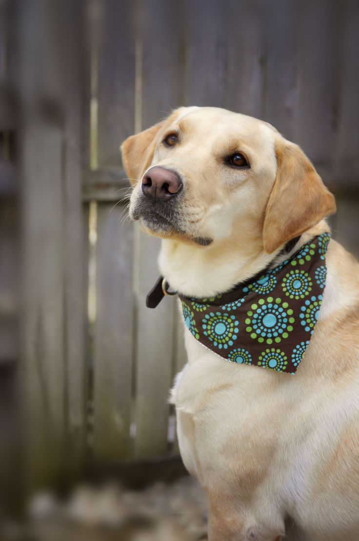 664 Best Yellow Labs Images On Pinterest