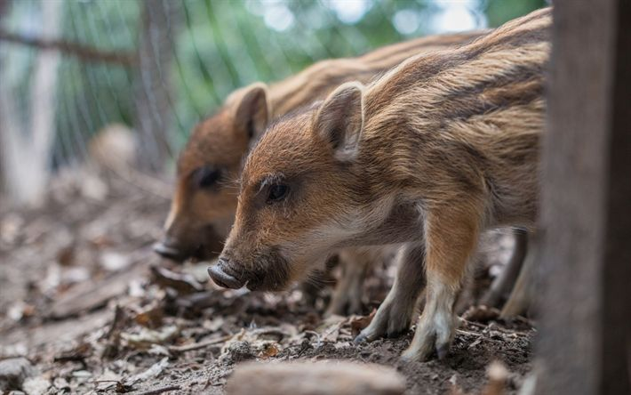 Download wallpapers wild small boars, pets, cute animals, forest animals