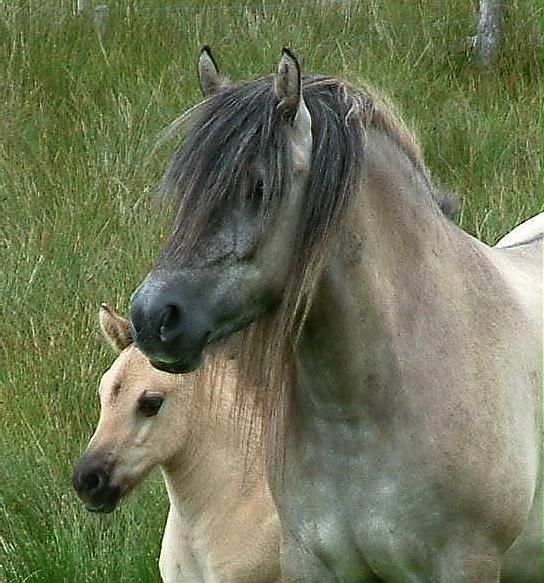 Highland ponies - mother and child....