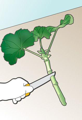 Esquejes Para Obtener Plantas Idénticas Leroy Merlin Cultivo
