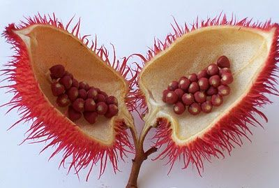 The annatto is bright red in colour, is a versatile spice and is commonly used as a colouring agent in some foods