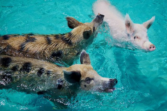 Bahamas Vacation Spots Are Also Home To Swimming Pigs ✿⊱╮