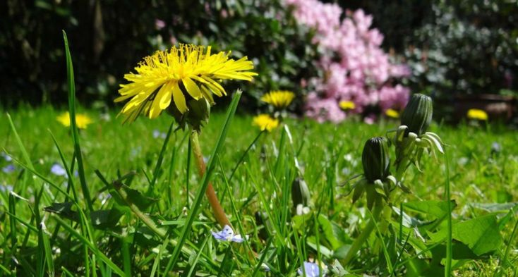 It's the official first day of spring, the Equinox. One of my favorite spring tonics includes dandelion and burdock roots with the sweetness of red clover.