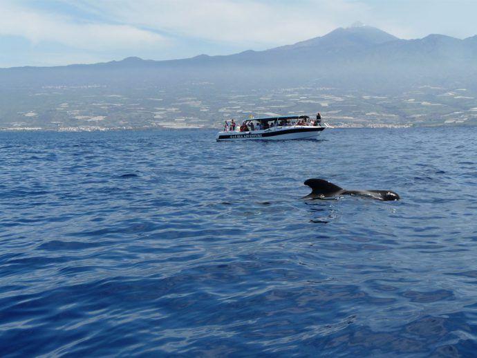 Avistamiento de cetáceos en Tenerife, Islas Canarias // Whale and dolphin watching in Tenerife, Canary Islands // Wal- und Delfinbeobachtung in Teneriffa, Kanarische Inseln #visitTenerife