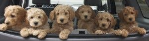 Most adorable labradoodle picture EVER! Love Bedrock Labradoodles :-)