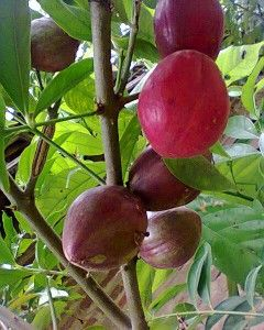 Buah Mahkota Dewa is a dense evergreen tree, growing well in tropical climates. Originates from Indonesia, the fruits of Mahkota Dewa tree are generally used for medicinal applications